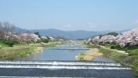 京都の最新桜情報7