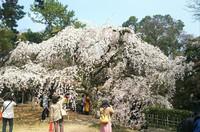 京都の桜 1 京都御苑の近衛の糸桜
