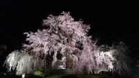 京都の桜 2 円山公園の桜