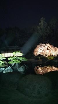 京都の桜 6 二条城の桜