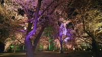 京都の桜 二条城の桜