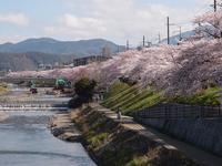 高野川 4月2日