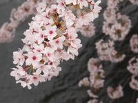 岡崎疎水 4月4日