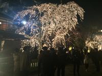 桜を撮る人を撮る2016
