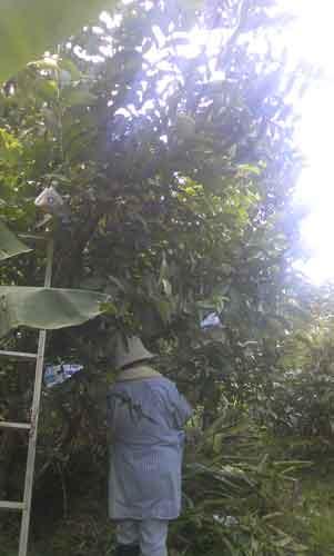 バンシルーの木