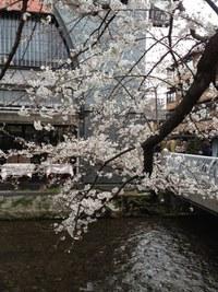 祇園・白川通りの桜