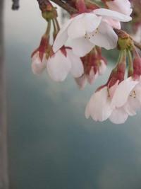 疎水縁の桜