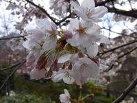 桜の開花と雪の大文字