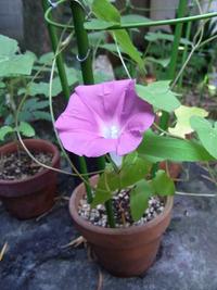 アサガオの開花と熱中症、そして夏休みのはじまり。