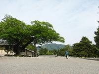 5月11日京都御苑 清水谷家の椋