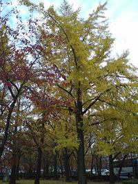 東本願寺前のいちょう並木