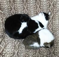 本日の猫団子