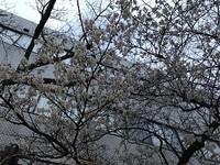 早咲きの桜が咲いていました 花のある大学40