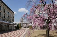 キャンパスの枝垂れ桜 花のある大学47