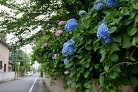 紫陽花(あじさい)が咲いています 花のある大学53
