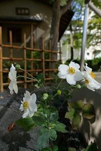 茶室の前のシュウメイギク 花のある大学55