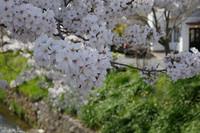 疎水で鴨の夫婦を見ました 花のある大学61