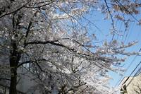 桜のアーチのような 花のある大学62