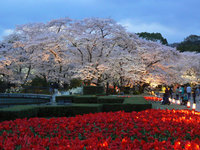 京都府立植物園 桜づくし