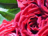 薔薇を激写!!