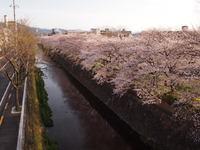 本日の羅列 ~桜~