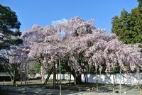 醍醐寺三宝院さんの桜、見頃ですね!