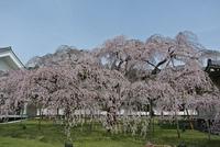 醍醐寺霊宝館の桜も