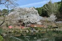 醍醐の桜うっとり