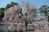 醍醐寺さんの桜のトンネルと紅しだれ(^0^)