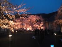 醍醐寺霊宝館のシダレ桜!