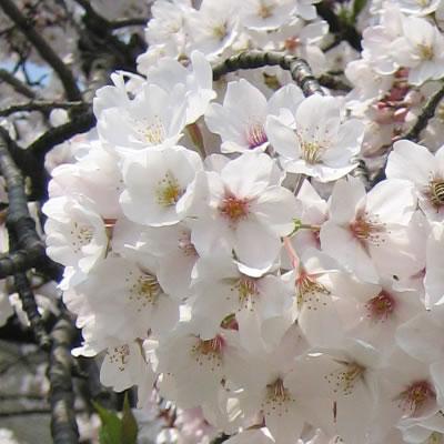 鴨川の桜【同志社大学政策学部・太田ゼミ】