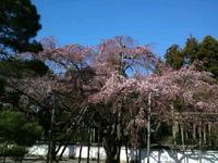醍醐寺さんでお花見!