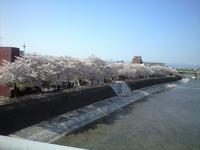 九条橋から鴨川の桜