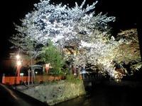 先週末白川の桜