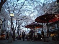 祇園縄手白川の桜