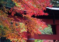 モミジと鳥居の色比べ (大津・還来神社)