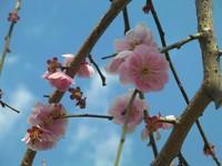 縁起の良い梅の花は、 大願成就の梅の花