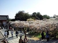 ≪ 御室桜、満開! ≫ in 仁和寺