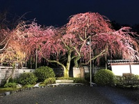 3/31(金) ≪ 京都の夜桜生中継 ≫ in 有栖川宮旧邸・有栖館