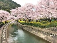山科疏水 ≪ 桜並木 & 菜の花 ≫