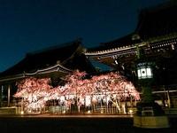 4/13(木) ≪ 幻想的な紅しだれ桜ライトアップ ≫ in 佛光寺