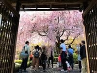 4/15(土) ≪ 満開の紅しだれ桜 ≫ in 妙心寺塔頭・退蔵院