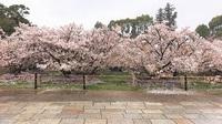 4/17(月) ≪ 御室桜、満開です! ≫ in 仁和寺