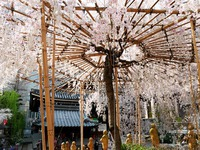 早咲き ≪ 六角堂の枝垂れ桜 ≫