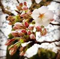 3/22(木) 《  京都の桜、開花!  》