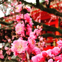 《  名残りの梅  》  京都・北野天満宮