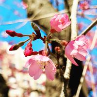 3/17(土) 《  東京の桜は…  》