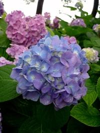 藤森神社・紫陽花苑