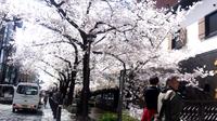 河原町の桜は、満開です