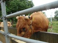 高知の赤牛を訪ねて その2
